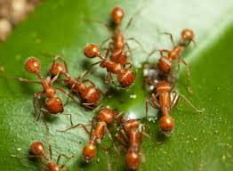 images-fire-ant